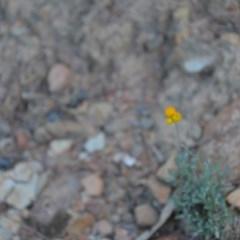 Chrysocephalum apiculatum (Common Everlasting) at Wamboin, NSW - 30 Mar 2020 by natureguy