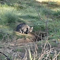 Felis catus (Feral Cat) at Paddys River, ACT - 20 Apr 2020 by ChrisHolder