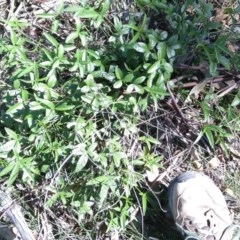 Cullen tenax (Tough scurf-pea) at Mcleods Creek Res (Gundaroo) - 18 Apr 2020 by MaartjeSevenster