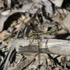 Orthetrum caledonicum (Blue Skimmer) at Red Hill Nature Reserve - 20 Apr 2020 by kieranh