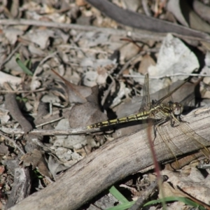 Orthetrum caledonicum at Red Hill Nature Reserve - 20 Apr 2020