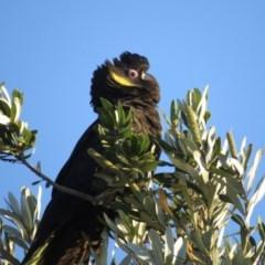 Calyptorhynchus funereus (Yellow-tailed Black-cockatoo) at Tura Beach, NSW - 20 Apr 2020 by LizAllen