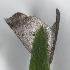 Mnesampela lenaea at Ainslie, ACT - 20 Apr 2020