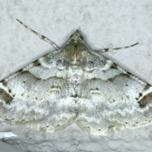 Syneora hemeropa at Ainslie, ACT - 20 Apr 2020