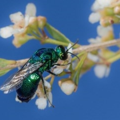 Stilbum cyanurum (Large Cuckoo Wasp) at West Belconnen Pond - 7 Mar 2014 by Bron