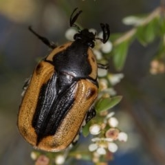 Chondropyga dorsalis (Cowboy Beetle) at West Belconnen Pond - 16 Jan 2015 by Bron