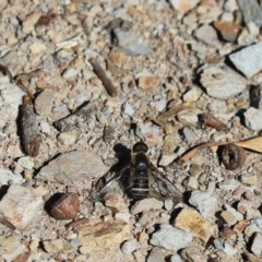 Villa sp. (genus) (Unidentified Villa bee fly) at Aranda Bushland - 6 Apr 2020 by Tammy