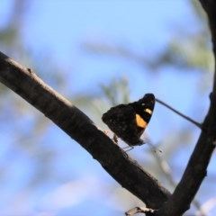 Vanessa itea (Yellow Admiral) at Cook, ACT - 19 Apr 2020 by Tammy