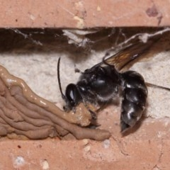 Pison sp. (genus) (Black mud-dauber wasp) at Evatt, ACT - 9 Nov 2015 by TimL