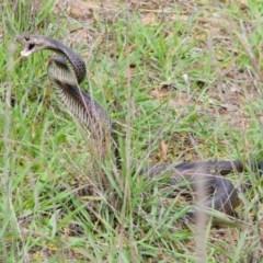 Pseudonaja textilis (Eastern Brown Snake) at Mount Rogers - 16 Apr 2020 by Kerri-Ann
