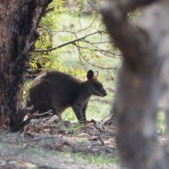 Wallabia bicolor (Swamp Wallaby) at Red Hill Nature Reserve - 22 Apr 2020 by wombey
