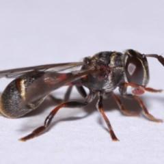 Paramixogaster sp. (genus) (A hover fly) at Evatt, ACT - 18 Nov 2015 by TimL