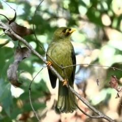Manorina melanophrys (Bell Miner) at - 22 Apr 2020 by Snowflake