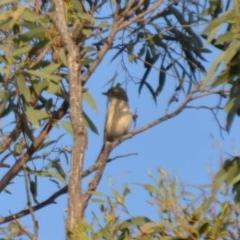 Pachycephala rufiventris (Rufous Whistler) at Wamboin, NSW - 31 Mar 2020 by natureguy