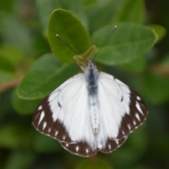 Belenois java (Caper White) at Wamboin, NSW - 7 Apr 2020 by natureguy