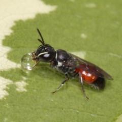 Hylaeus (Prosopisteron) littleri (Hylaeine colletid bee) at Evatt, ACT - 17 Nov 2015 by TimL