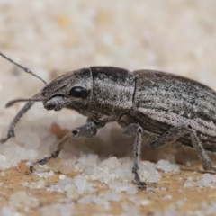 Naupactus leucoloma (White-fringed weevil) at Evatt, ACT - 22 Apr 2020 by TimL