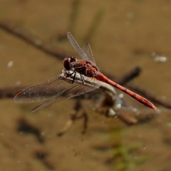 Diplacodes bipunctata (Wandering Percher) at Brogo, NSW - 21 Apr 2020 by MaxCampbell