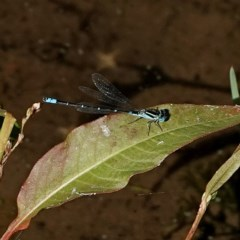 Austroagrion watsoni (Eastern Billabongfly) at Brogo, NSW - 21 Apr 2020 by MaxCampbell