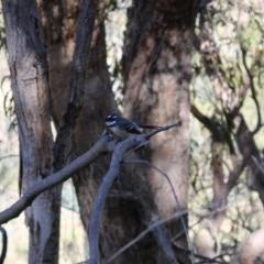 Rhipidura albiscapa (Grey Fantail) at Chisholm, ACT - 24 Apr 2020 by ChrisHolder