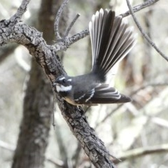Rhipidura albiscapa (Grey Fantail) at Red Hill Nature Reserve - 22 Apr 2020 by TomT