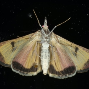 Uresiphita ornithopteralis at Ainslie, ACT - 23 Apr 2020