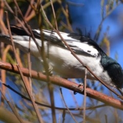 Lalage tricolor (White-winged Triller) at Lower Boro, NSW - 28 Sep 2019 by mcleana