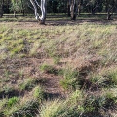 Digitaria brownii (Cotton Panic Grass) at Umbagong District Park - 23 Apr 2020 by MattM