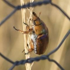 Anoplognathus montanus (Montane Christmas beetle) at Jindabyne, NSW - 25 Jan 2020 by Illilanga