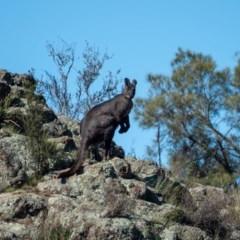 Macropus robustus (Wallaroo) at Lower Molonglo - 23 Apr 2020 by Philip