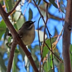 Sericornis frontalis (White-browed Scrubwren) at Jerrabomberra Wetlands - 23 Apr 2020 by RodDeb