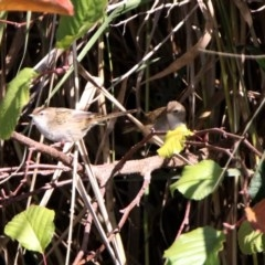 Poodytes gramineus (Little Grassbird) at Jerrabomberra Wetlands - 23 Apr 2020 by RodDeb