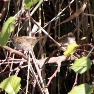Poodytes gramineus at Jerrabomberra Wetlands - 23 Apr 2020