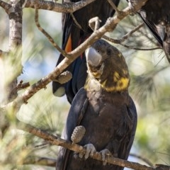 Calyptorhynchus lathami (Glossy Black-Cockatoo) at Penrose - 23 Apr 2020 by Aussiegall