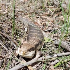 Tiliqua scincoides (Eastern Blue-tongue) at Penrose - 5 Apr 2020 by Aussiegall