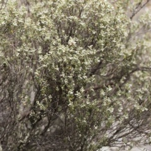 Brachyloma daphnoides at Illilanga & Baroona - 22 Dec 2018