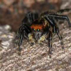 Hypoblemum griseum (A jumping spider) at Melba, ACT - 2 Feb 2011 by Bron