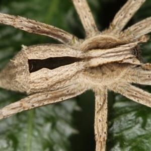 Argoctenus sp. (genus) at Melba, ACT - 28 Nov 2011