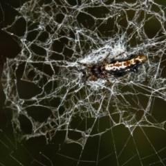 Cyclosa trilobata (Three-lobed spider) at Melba, ACT - 31 Dec 2011 by Bron