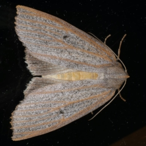 Paralaea porphyrinaria at Ainslie, ACT - 24 Apr 2020