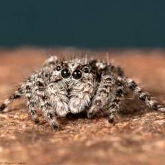 Clynotis severus (Stern Jumping Spider) at Macgregor, ACT - 25 Apr 2020 by Roger