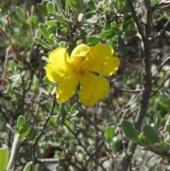 Hibbertia obtusifolia (Grey Guinea-flower) at The Pinnacle - 25 Apr 2020 by sangio7