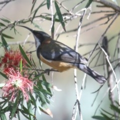 Acanthorhynchus tenuirostris (Eastern Spinebill) at Yarralumla, ACT - 24 Apr 2020 by Ratcliffe