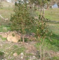 Brachychiton populneus subsp. populneus (Kurrajong) at Dunlop, ACT - 25 Apr 2020 by sangio7