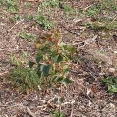 Brachychiton populneus subsp. populneus (Kurrajong) at The Pinnacle - 25 Apr 2020 by sangio7