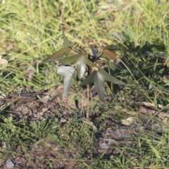 Brachychiton populneus subsp. populneus (Kurrajong) at Weetangera, ACT - 24 Apr 2020 by AlisonMilton