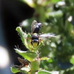 Hylaeus honestus (A hylaeine colletid bee) at Macarthur, ACT - 25 Apr 2020 by RodDeb