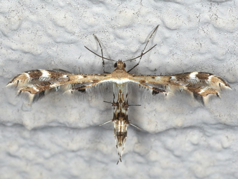 Sphenarches anisodactylus at Ainslie, ACT - 24 Apr 2020