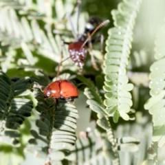 Ditropidus sp. (genus) (Leaf beetle) at The Pinnacle - 24 Apr 2020 by AlisonMilton