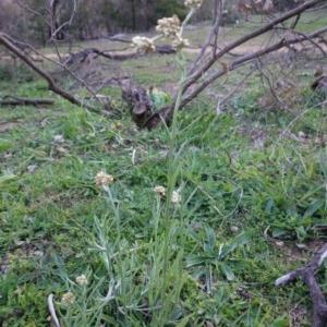 Pseudognaphalium luteoalbum at Red Hill Nature Reserve - 25 Apr 2020